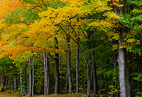 The edge of the forest along Green Road creates a autumn scenic delight, Door County, Wisconsin