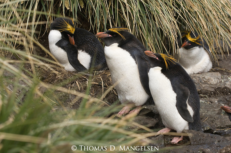 Macaroni penguins at Cooper Bay on South Georgia Island.