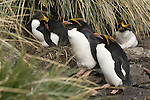 Macaroni penguins at Cooper Bay on South Georgia Island.