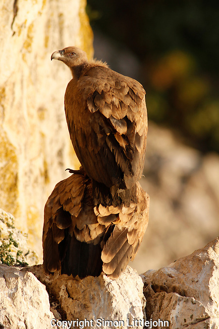 Adult Eurasian Griffon Vultures preparing to mate on rock face. Andalucia, Spain