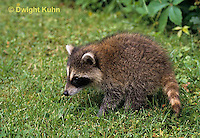MA25-176z   Raccoon - young raccoon exploring - Procyon lotor