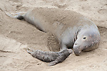 San Simeon, California; a large adult male Northern Elephant Seal (Mirounga angustirostris) rests on the sandy beach next to a small newborn pup seaching for it's mother