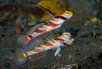 Black-Rayed Shrimp Goby, Stonogobiops nematodes, mating pair, displaying courtship behavior, Tulamben, Bali, Indonesia, Pacific Ocean