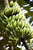 FRENCH POLYNESIA, Moorea. Bananas on a tree.