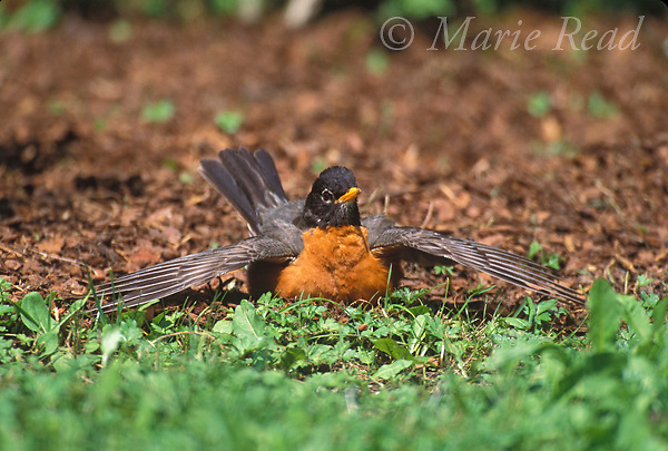 American Robin (Turdus migratorius) male sunbathing, an activity performed for feather care or to combat feather-parasites, New York, USA