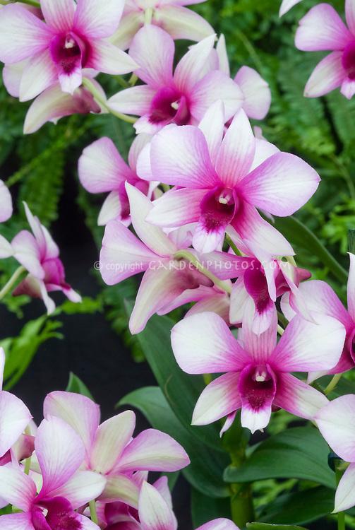 Dendrobium Polar Fire hybrid orchid (Dendrobium phalaenopsis type)