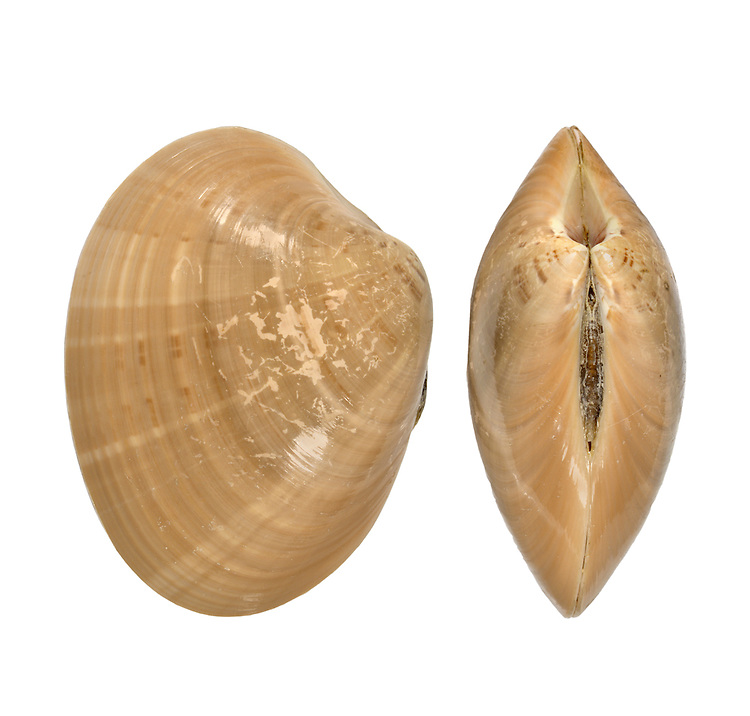 Brown Venus - Callista chione Length to 80mm. Glossy bivalve mollusc,found buried in coarse sand at extreme low water. Very local. In Britain, restricted to SW England and NW Wales.