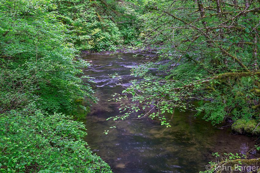 ORSF_D157 - USA, Oregon, Silver Falls State Park, Spring flora; primarily maple and red alder, along North Fork Silver Creek.