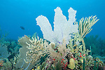 Gardens of the Queen, Cuba; large, colorful sea fans, sea rods and sponges growing on the coral reef