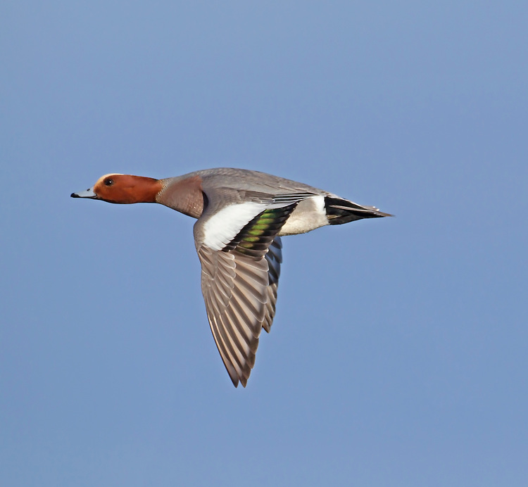 Wigeon - Anas penelope - male. L 45-47cm. Males are colourful and attractive. Forms large flocks outside breeding season. Sexes are dissimilar. Adult male has mainly orange-red head with yellow forehead. Breast is pinkish; rest of plumage is mainly finely marked grey except for white belly and black and white stern. In flight, has white patch on wing. Bill is pale grey and dark-tipped. In eclipse, resembles an adult female although white wing patch is still evident. Adult female is mainly reddish brown, darkest on head and back. Note, however, the white belly and stern. In flight, lacks male's white wing patch. Bill is grey and dark-tipped. Juvenile resembles adult female. Voice Male utters evocative wheeeoo whistle.