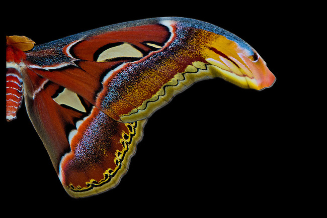 "One half of a perfect specimen of a very beautiful Atlas moth against a digitally produced black background designed to show off the moths' magnificent colors of  rust, blue, black, cream, gold, red-orang and melon; ""furry"" appearance; gossamer portals and diaphanous ""eye"" on the tips of its forewing."