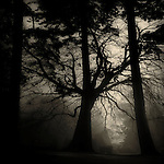 The silhouette of a tree in mist