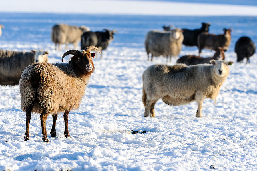 Norway, Klepp. Domestic sheep.