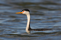 Adult Clark's Grebe (Aechmophorus clarkii) in breeding plumage. Malheur County, Oregon. September.