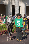 Spot in the walking ring before winning the Swale(G2). Gulfstream Park, Hallandale Beach Florida. 02-01-2014