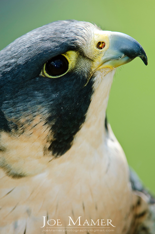 Peregrine Falcon portrait. Close view of head and eye.