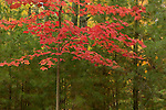 Maple tree autumn