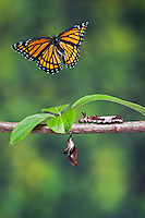 Viceroy (Limenitis archippus) butterfly, instar & pupae. North America. Composite image.