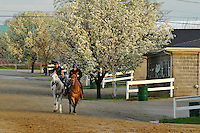 Derby hopeful Hansen being led onto the Churchill Downs Trackside training center track for a 4 furlong breeze on Sunday March 18, 2012 in Louisville, Kentucky.