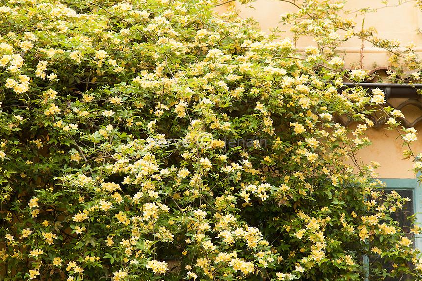 France, Alpes-Maritimes (06), Menton, jardin Serre de la Madone :.rosier de Banks 'Lutea', Rosa banksiae 'Lutea' sur le jardin d'hiver.