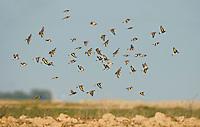 Goldfinch - Carduelis carduelis, Linnet - Carduelis cannabina, Tree Sparrow - Passer montanus - winter flock