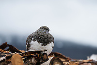 Mountain Ptarmigan on woodpile at Sälka hut, Kungsleden trail, Lapland, Sweden