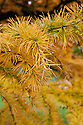 Golden larch (Pseudolarix amabalis), end October.