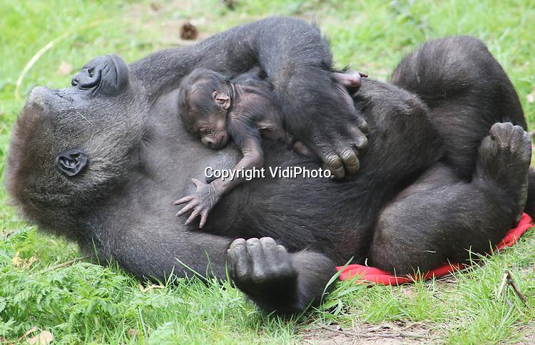 Foto: VidiPhoto..ARNHEM - In Burgers' Zoo in Arnhem is donderdag totaal onverwacht een gorillajong geboren. Verzorgers hadden de bevalling pas eind mei verwacht. Moeder Nimba (dit is haar tweede jong) is een kleindochter van de wereldberoemde albino-zilverrug Sneeuwvlokje uit Barcelona. Het geslacht van het jong is nog niet bekend. Bijzonder is dat drie andere gorillavrouwen ook zwanger zijn van Bauwi, de zilverrug. Vier zwangere gorilla's is een zeldzaamheid in een dierentuin. Een van de moeders is nog een tiener. Zij kan nu de kunst afkijken bij Nimba..