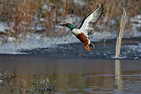Northern Shoveler (Anas clypeata) drake jumping/taking flight off wetland pond.  Oregon-California border.  Late winter.