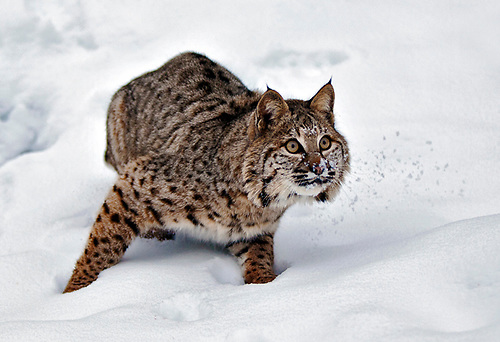 Family Felidae(cats); Bobcat(Felis rufus); Adult bebcat on snowcovered forest floor; Kootenai National Forest; Flathead County; Montana