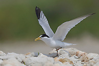 Least Tern - Sternula antillarum - breeding adult