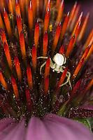 Veränderliche Krabbenspinne, Krabben-Spinne, Misumena vatia, Weibchen auf Blüte, goldenrod crab spider, crab-spider