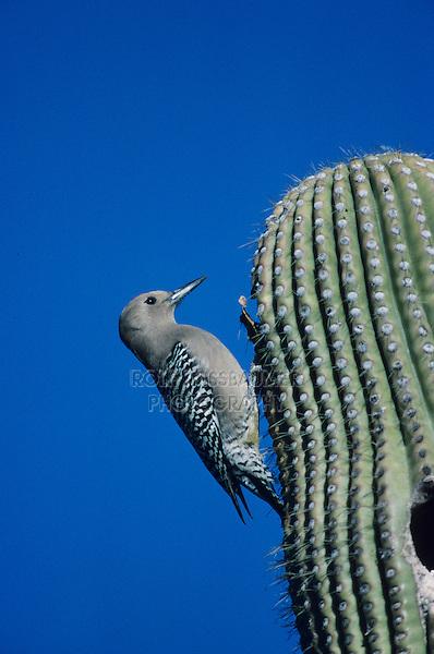Gila Woodpecker, Melanerpes uropygialis, adult on Saguaro Cactus, Tucson, Arizona, USA, January 1995