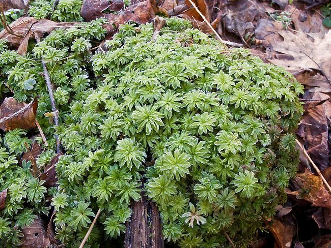 Winter mosses, Rocky Fork