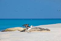Laysan Albatross, Phoebastria immutabilis, starts to take off past sleeping Hawaiian monk seals, Neomonachus schauinslandi, Critically Endangered endemic species, Sand Island, Midway, Atoll, Midway Atoll National Wildlife Refuge, Papahanaumokuakea Marine National Monument, Northwest Hawaiian Islands ( Central North Pacific Ocean )