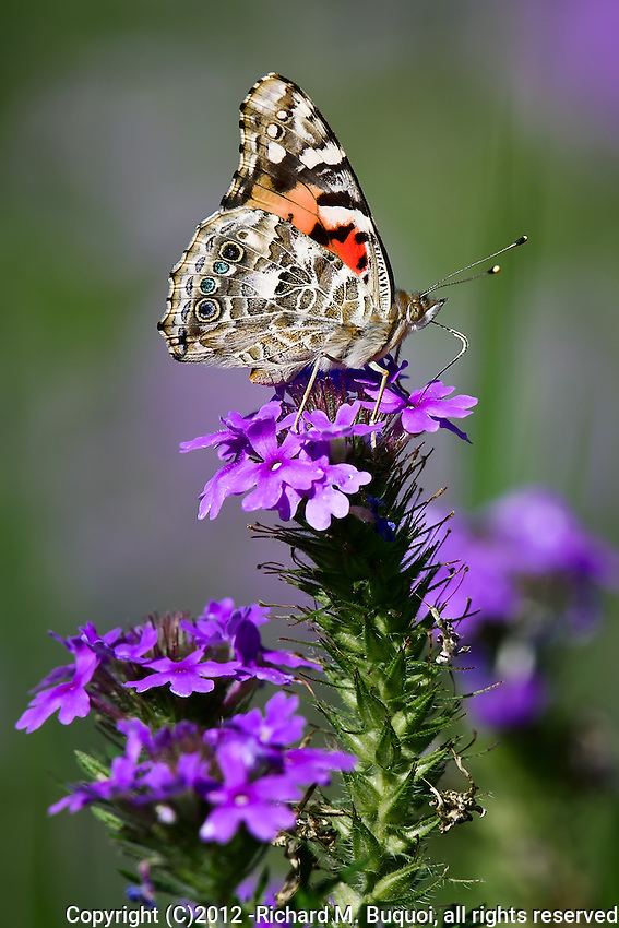 Painted Butterfly on Verbena