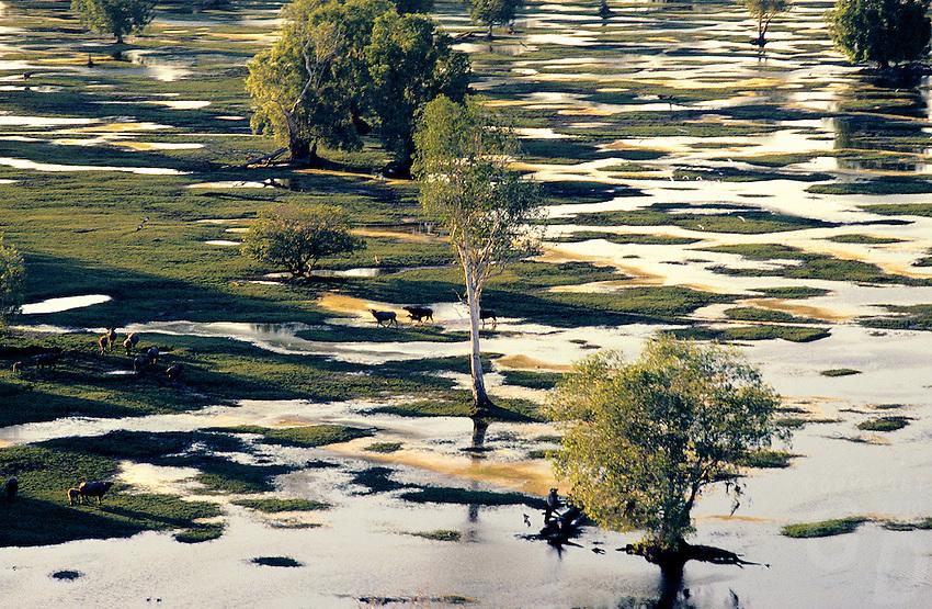 Wild Buffaloes roaming the floodplains near Kakadu National Park, Northern Territory Australia