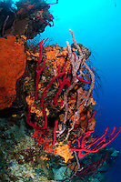 nr0460-D. red Erect Rope Sponges (Amphimedon compressa), Orange Elephant Ear Sponge (Agelas clathrodes), Lavendar Rope Sponge (Niphates erecta). Belize, Caribbean Sea.<br /> Photo Copyright &copy; Brandon Cole. All rights reserved worldwide.  www.brandoncole.com