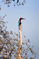 White-Breasted Kingfisher bird, Halcyon smyrnensis, in Ranthambhore National Park, Rajasthan, Northern India