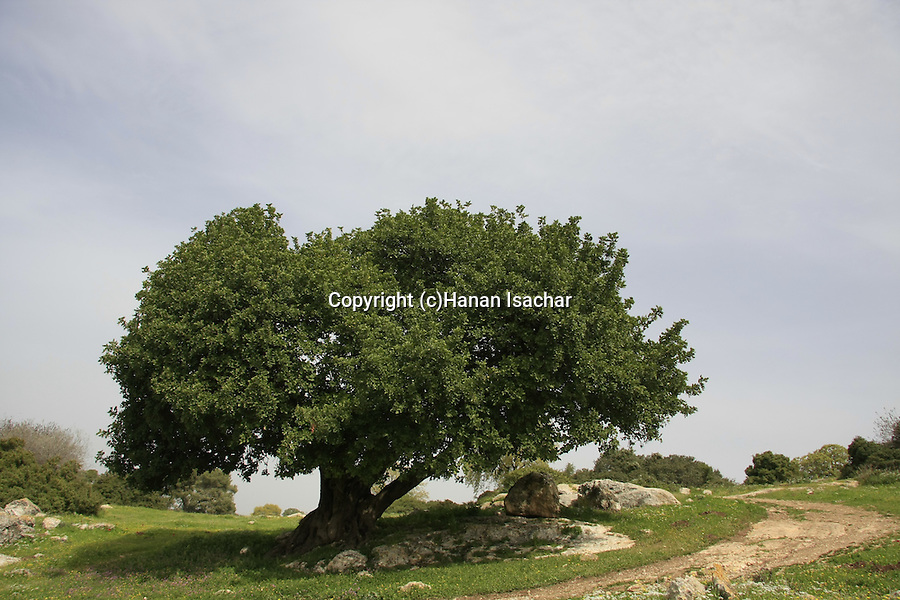 Israel, Jezreel Valley, Carob tree (Ceratonia Siliqua) by Tel Shimron