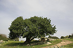 T-099 Carob tree in Tel Shimron