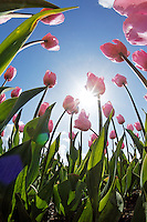 Pink tulips seen from below against blue sunny sky, Skagit Valley, Mount Vernon, Washington, USA