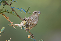 House Finch, Carpodacus mexicanus, female on Agarita (Berberis trifoliolata), Uvalde County, Hill Country, Texas, USA, April 2006