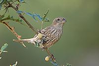 House Finch, Carpodacus mexicanus, female on Agarita (Berberis trifoliolata), Uvalde County, Hill Country, Texas, USA, April 2006