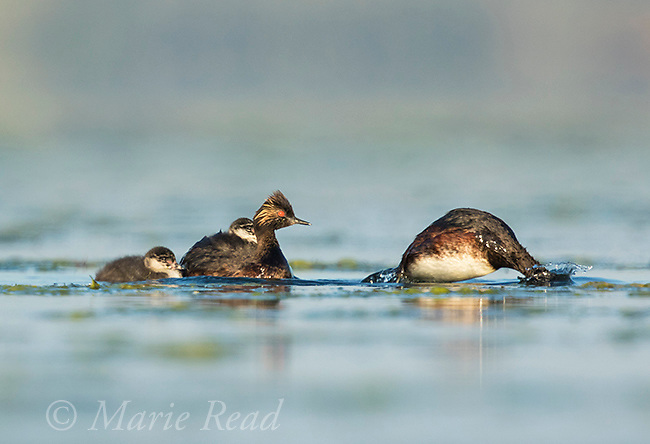Eared Grebe (Podiceps nigricollis) family, two adults, two chicks (one swimming, the other riding on adult's back), one adult diving in search of food, Bowdoin National Wildlife Refuge, Montana, USA