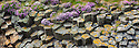 Flowering thrift {Armeria maritima} growing amongst basalt columns. Isle of Staffa, Inner Hebrides, Scotland, UK.