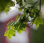 Leaf from maple lit by the evening sun outside Oslo, Norway