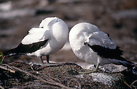 A pair of masked boobies with their heads tucked under their wings. As with all birds and animals on the Galapagos, the proximity of a human does not alarm either of them.