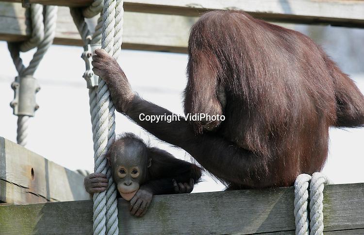 Foto: VidiPhoto..RHENEN - Voor het eerst buiten los van moeder. De tweejarige orang oetan Gordon gaat maandag in Ouwehands Dierenpark in Rhenen voor het eerst naar buiten dit jaar. Omdat hij vorig jaar nog te klein was om zelfstandig buiten te lopen, is het maandag voor het eerst dat het diertje zich vrij beweegt. Nog wat angstig kijkt hij vanuit de hoge kunstbomen naar beneden en als moeder op de touwen balanceert, klampt hij zich weer vast aan het veilige moederlijf.