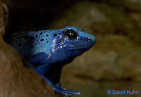 0519-07yy  Blue Poison Dart Frog - Dendrobates azureus - © David Kuhn/Dwight Kuhn Photography